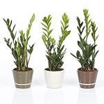 Zimmerpflanzen for Zen einrichtungsstil